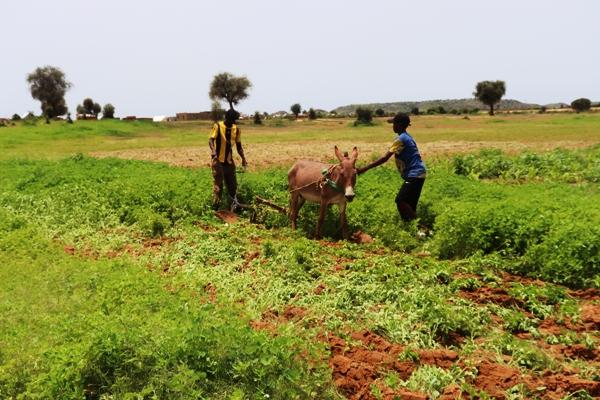 أطفال في مهام الكبار عملية تقليب الأرض للزراعة المطرية بسيلبابي